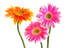Fresh pink and yellow gerbera Stock Photography