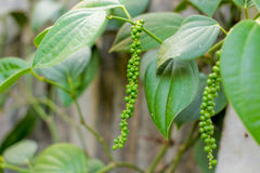 Fresh Piper nigrum. On its tree. It`s ready for food ingredient and make herb Stock Photography