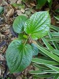 Fresh Piper sarmentosum Stock Photo