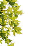 Plane trees  leaves Royalty Free Stock Photos
