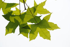 Fresh plane trees leaves stock photo