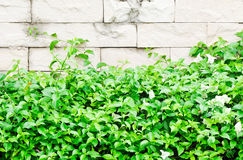 Fresh plant fence Royalty Free Stock Images