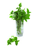 Fresh plant of lemon balm and mint Royalty Free Stock Image