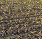 Fresh planted Tobacco field Royalty Free Stock Photo