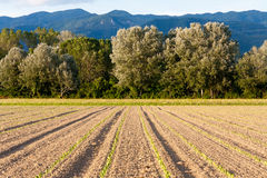 Fresh planted Tobacco field Stock Image