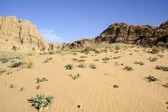 Fresh plants on desert sand, Jordan Royalty Free Stock Photos