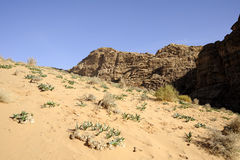 Fresh plants on desert sand, Jordan Royalty Free Stock Image