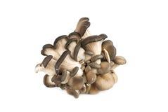 Fresh pleurotus mushroom royalty free stock photo