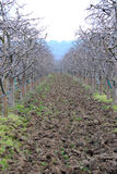 Fresh ploughed  and pruned apple orchard Royalty Free Stock Photography