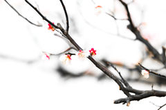 Fresh plum tree flowers isolated on white background Royalty Free Stock Images