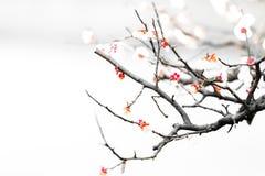 Fresh plum tree flowers isolated on white background Stock Photos