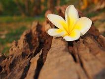 Fresh Plumeria. At Thai spa royalty free stock image