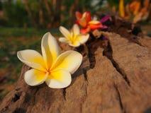 Fresh Plumeria. At Thai spa royalty free stock images