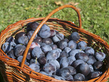 Fresh plums in the basket Royalty Free Stock Photography
