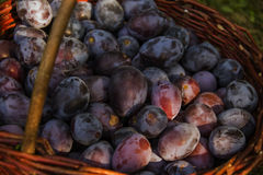 Fresh plums on basket. A large number of excellent ripe plum Stock Images