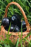 Fresh plums in a basket Stock Image