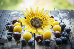 Fresh plums, blackberries,cherry, blueberries, apricots on a table with sunflower and natural background. Fresh plums, blackberries,cherry, blueberries, apricots royalty free stock photo