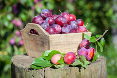 Fresh plums in a box outdoors in garden. Stock Photo