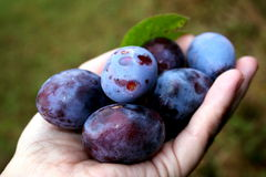 Fresh plums. Freshly picked plums in the palm of your hand royalty free stock images