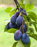 Plums. Fresh plums right before the harvest stock images