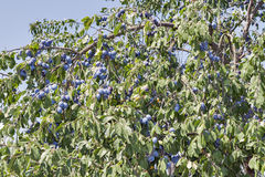 Fresh plums on a tree branch Stock Photos