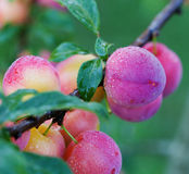 Fresh plums on the tree Stock Images