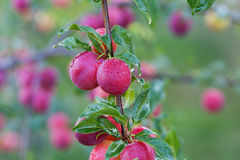 Fresh plums on the tree Royalty Free Stock Photo