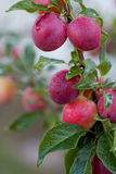 Fresh plums on the tree Stock Photography