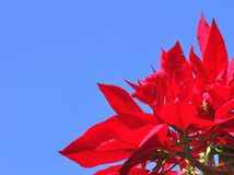 Fresh poinsettia isolated on blue sky background Stock Photography