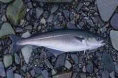 Fresh pollock fish, coalfish, saithe fish on stony shore of fjord Norway.  stock image