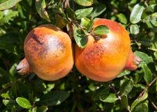 Fresh pomegranates Royalty Free Stock Images