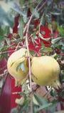 Fresh pomegranates Royalty Free Stock Photo