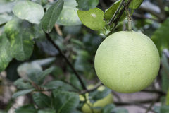 Fresh Pomelo. Is on the tree Royalty Free Stock Photography