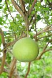 Fresh Pomelo  is on the tree Stock Image