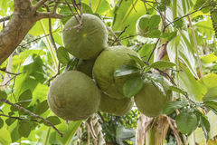 Fresh pomelos on tree Royalty Free Stock Images