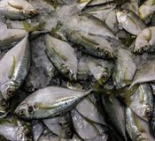 Fresh Seafood On Ice In Asian Market. Fresh Pompano on display in outdoor markets royalty free stock images