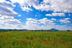 Fresh poppy field Royalty Free Stock Images