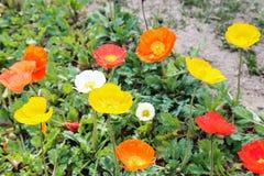 Fresh poppy flowers Royalty Free Stock Images