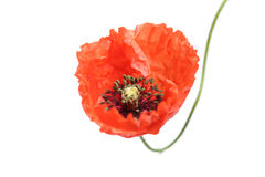 Fresh poppy isolated Stock Images