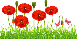 Fresh Poppy lawn. With green grass and butterflies. Spring Summer background Stock Photo