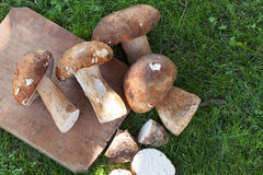 Fresh Porcini In The Grass Royalty Free Stock Images