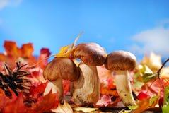 Fresh porcini mushrooms on autumn leaves Royalty Free Stock Image