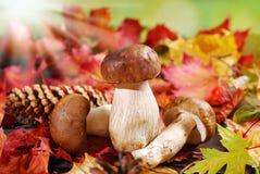 Fresh porcini mushrooms on autumn leaves Royalty Free Stock Photography