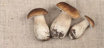 Fresh porcini mushrooms on burlap Background Nature Season Food Royalty Free Stock Images