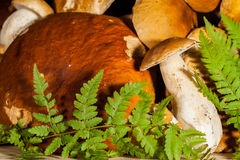 Fresh porcini mushrooms , ferns different size royalty free stock images