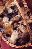 Fresh porcini mushrooms Stock Images