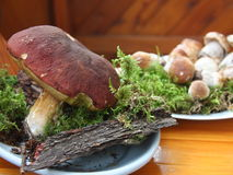 Fresh Porcini mushrooms just collected in the forest Royalty Free Stock Photography