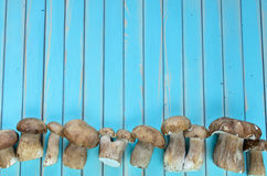 Fresh porcini mushrooms lying in row on wooden turquoise table Royalty Free Stock Images