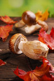 Fresh porcini mushrooms lying on wooden table Royalty Free Stock Images