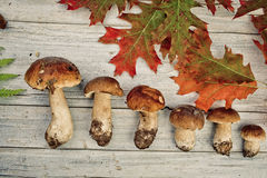 Fresh Porcino or Porcini Mushrooms in Autumn Royalty Free Stock Photos